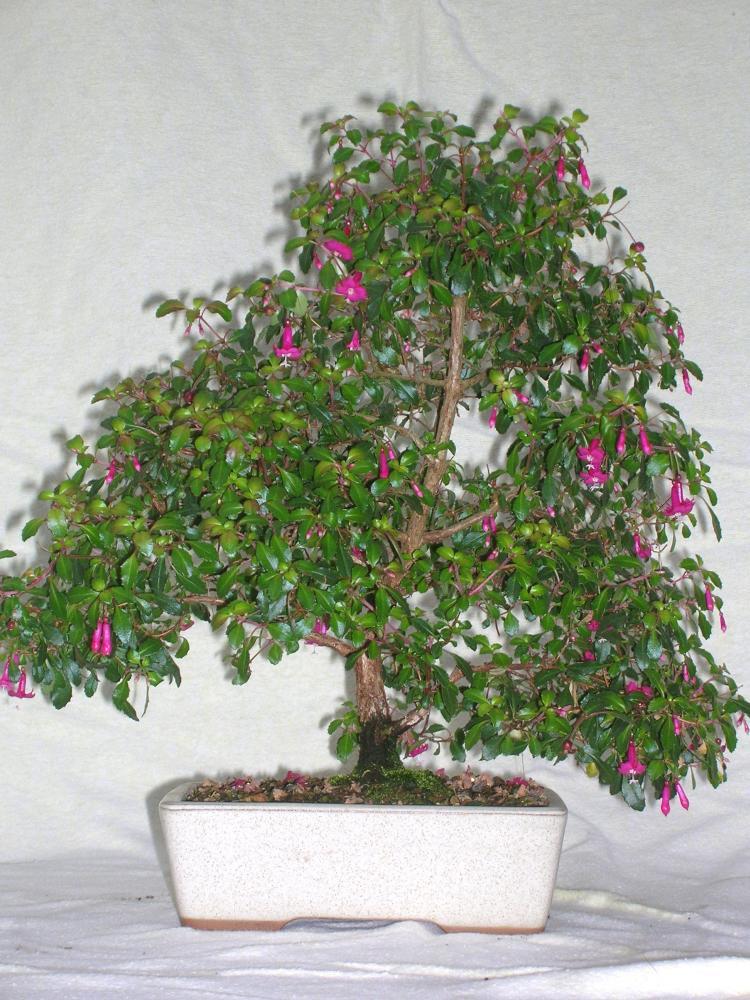 Fuchsia microphylla.JPG