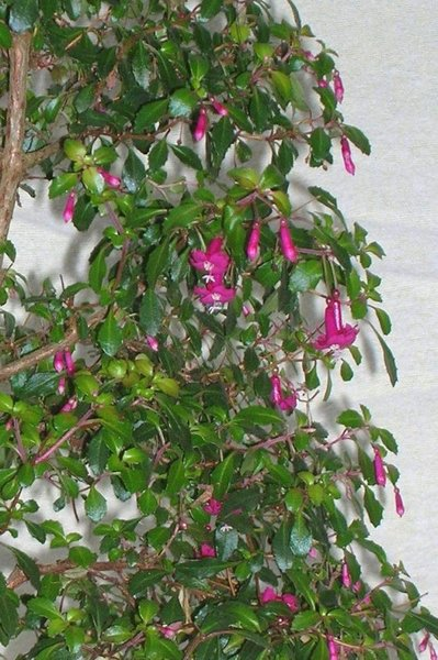 Fuchsia microphylla - Kopie.JPG