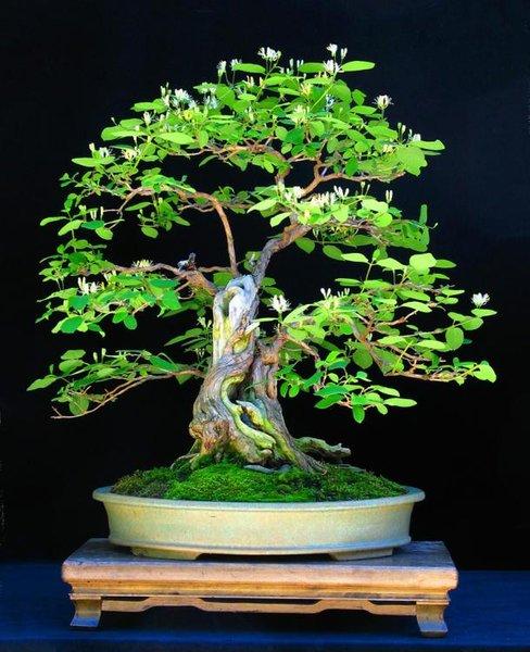 Heckenkirsche -Lonicera Xylosteum ca.40 Jahre, Höhe 45cm -Schale JM (2).JPG
