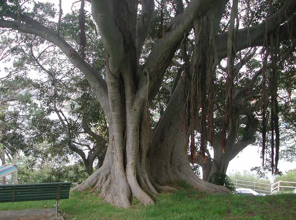 Ficus in Sdney von WP.jpg