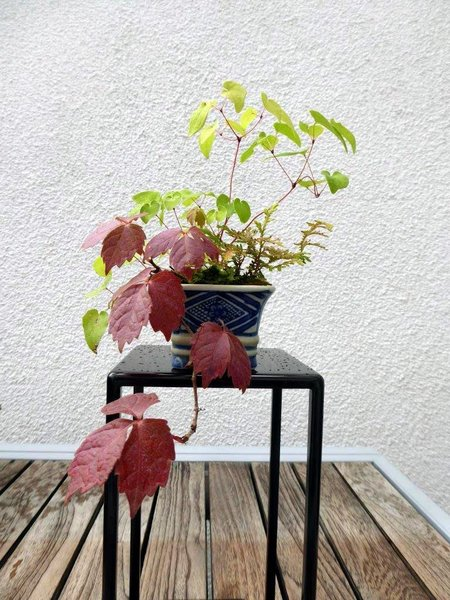 Parthenocissus03_2017-02small.jpg