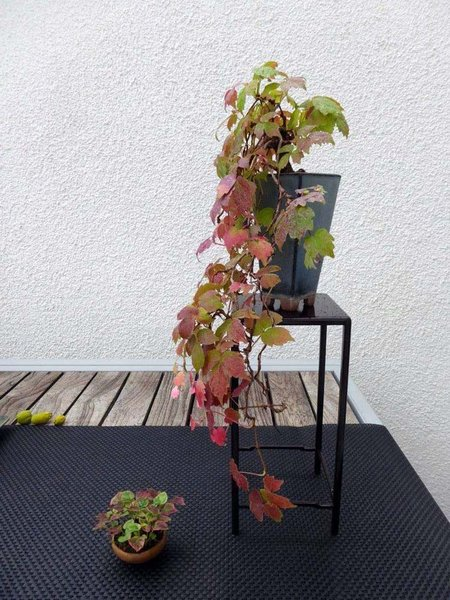 Parthenocissus02_2017-01small.jpg
