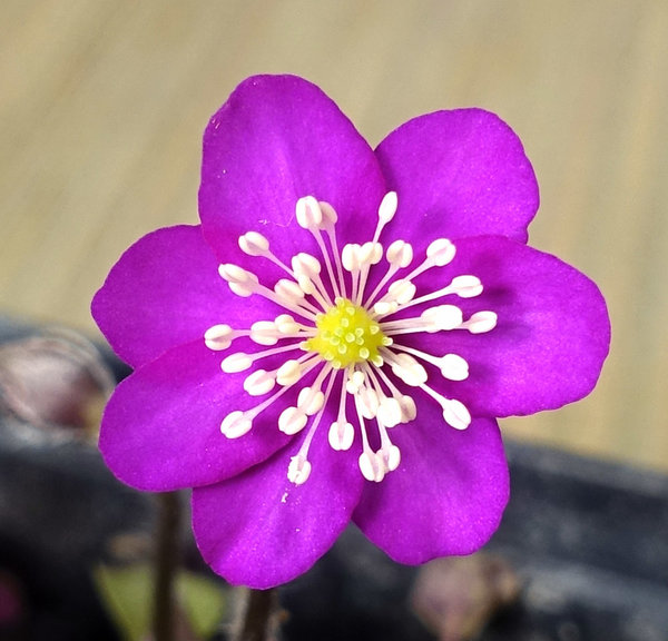 Hepatica07_RoterRiese_2018-02b-s.jpg