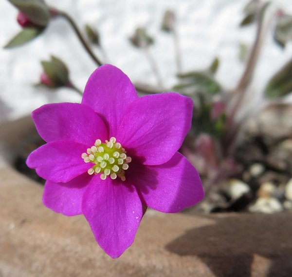 Hepatica Feuerkäfer