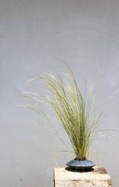 Stipa tennissima