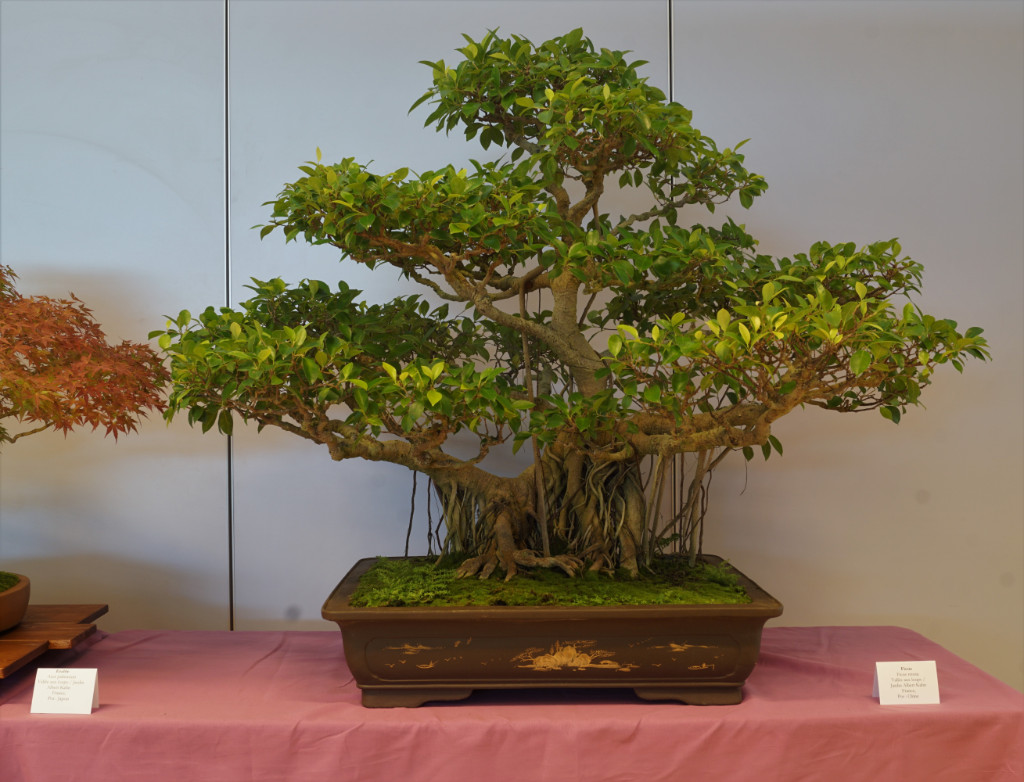 2018-10-12 Mulhouse, Ficus retusa, Jardin Albert Kahn, China.JPG