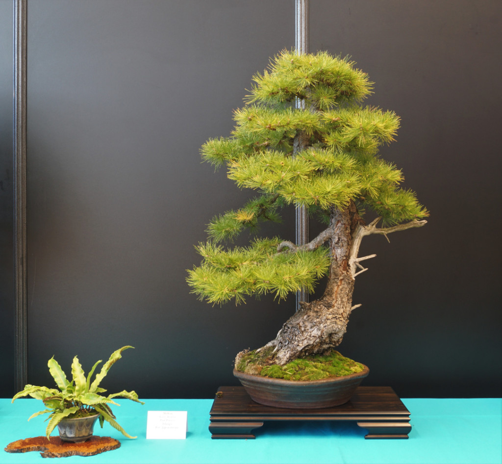2018-10-12 Mulhouse, Larix decidua, Paul Putseys, Japan antik.JPG