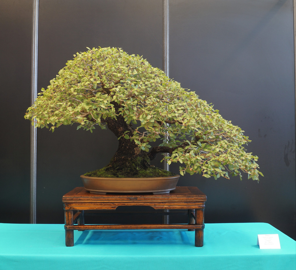 2018-10-12 Mulhouse, Quercus faginea, Luis Vallejo, Japan.JPG