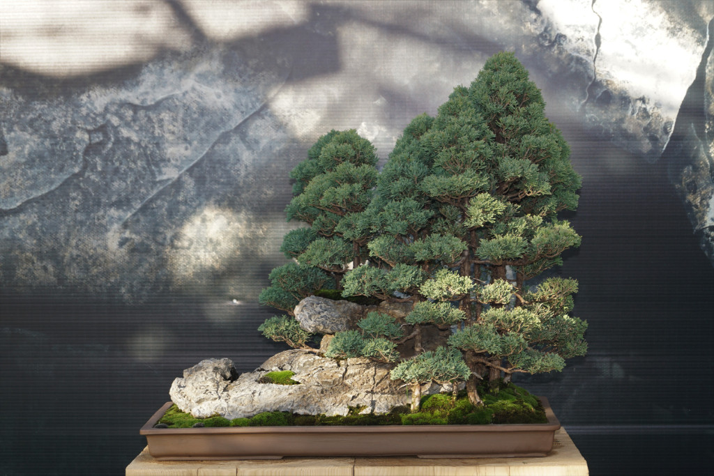 2018-10-12 Mulhouse, Juniperus chinensis, Didier Weiss, China.JPG