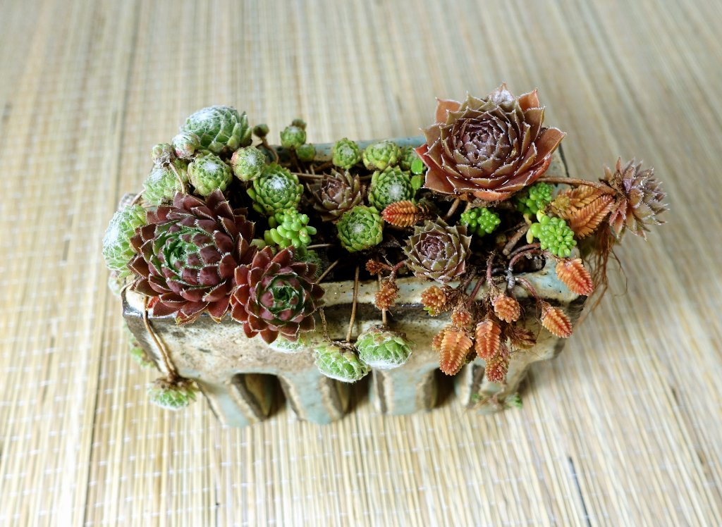 Sempervivum05_2019-03e.JPG