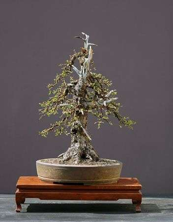 726436-european-larch-larix-decidau-50-cm-high-around-100-years-old-collected-in-austria-styled-by-walter-p.jpg