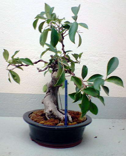 ficus09.04.08links.jpg